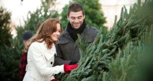 Как выбрать качественную живую елку